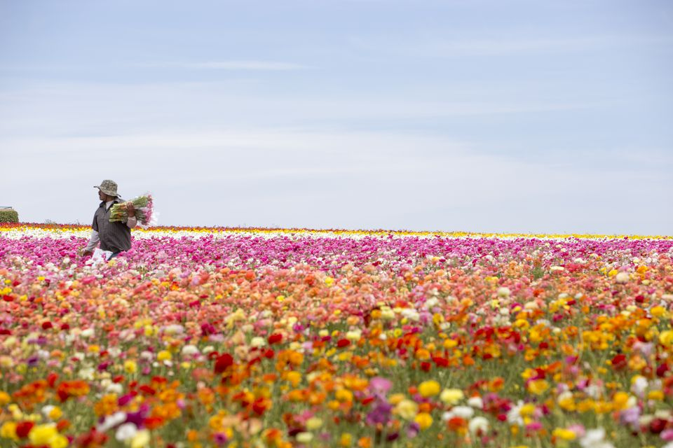 Man with flowers in a vast colorful flower field