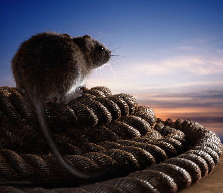 Wharf Rat