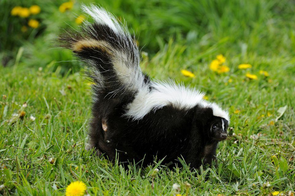 Striped Skunk (Mephitis mephitis) adult. Captive animal