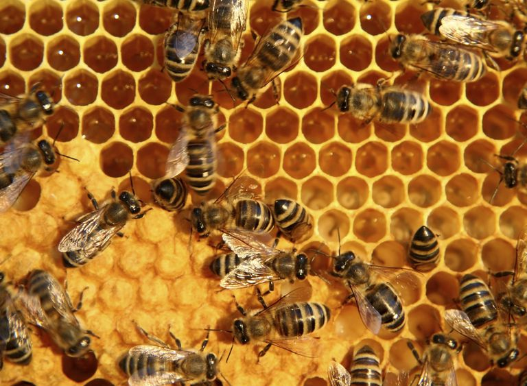 Honey bees communicate in several ways.