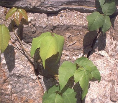 Picture of poison ivy vine growing on a stone wall.