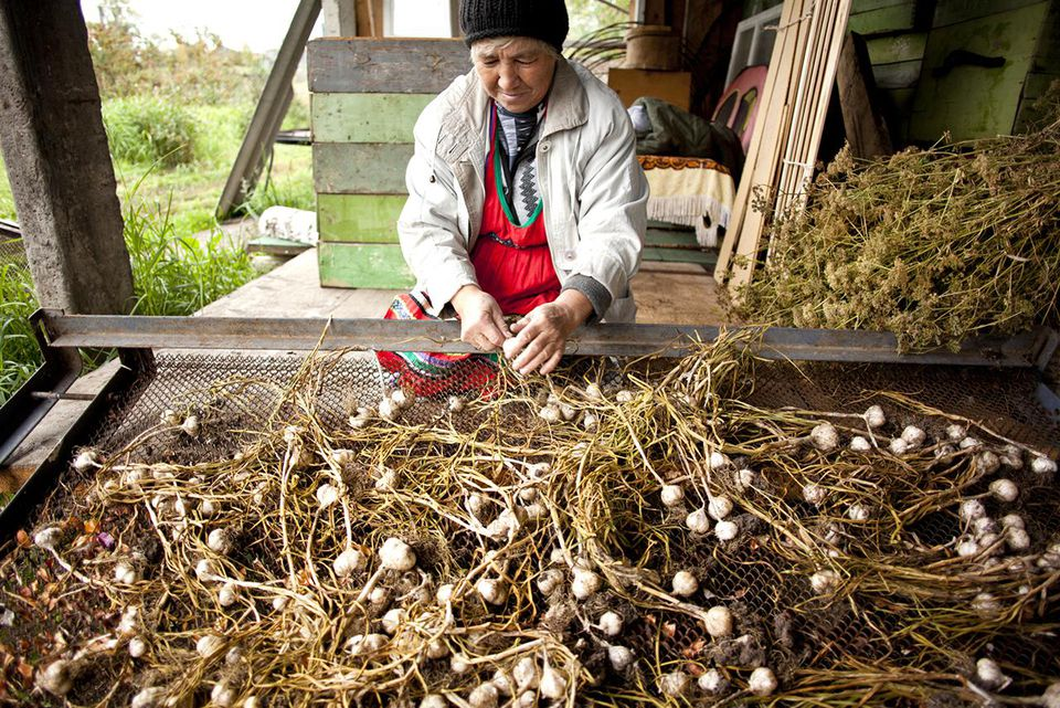 Senior Woman Harvesting Fresh Garlic in Farmhouse