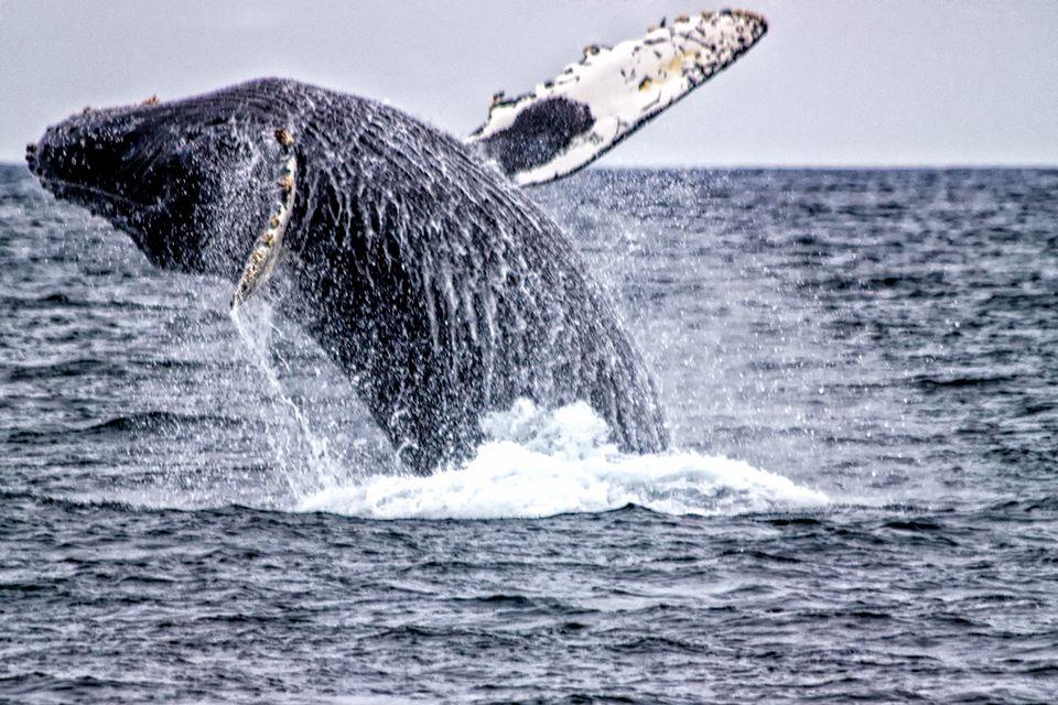 Whale Breaching Near the Farallon Islands
