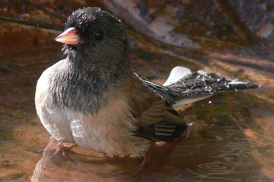 Junco Bathing