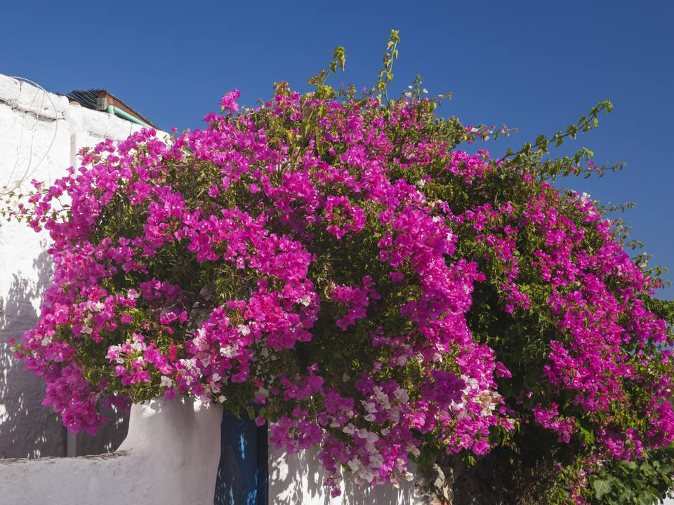 Best shrubs with pink or magenta flowers magenta flowers on bougainvillea shrub growing against a white wall mightylinksfo Image collections