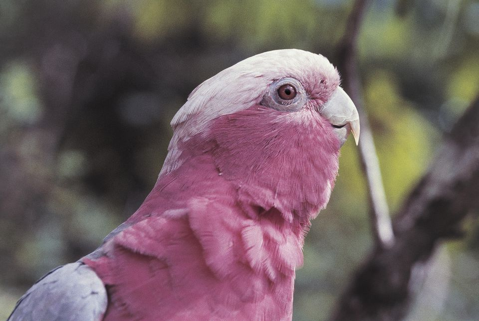 A galah cockatoo