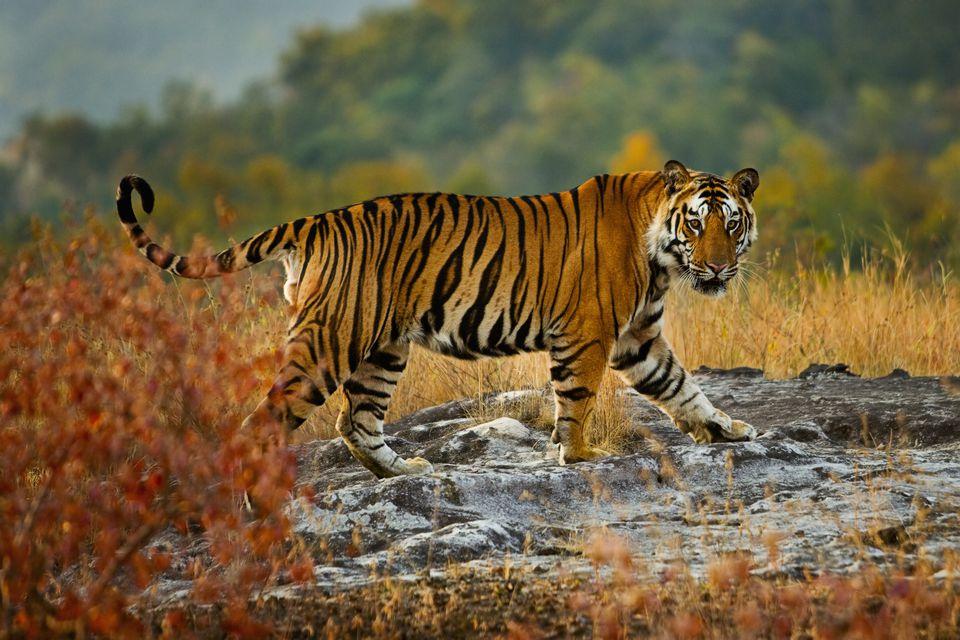 A large tiger in Bandhavgarh National Park, Madhya Pradesh, India