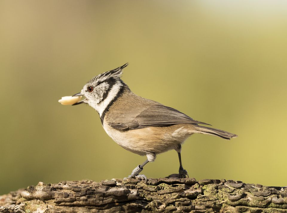 Crested Tit (Lophophanes cristatus), standing on a branch of tree eating seeds . Spain, Europe.