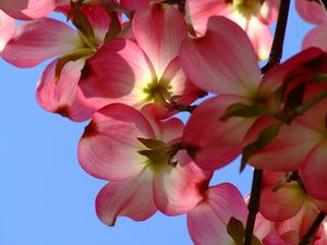 Pink dogwood blossoms against a blue sky.