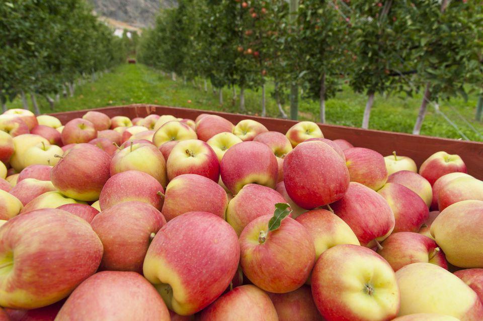 AppleOrchard_1500.jpg