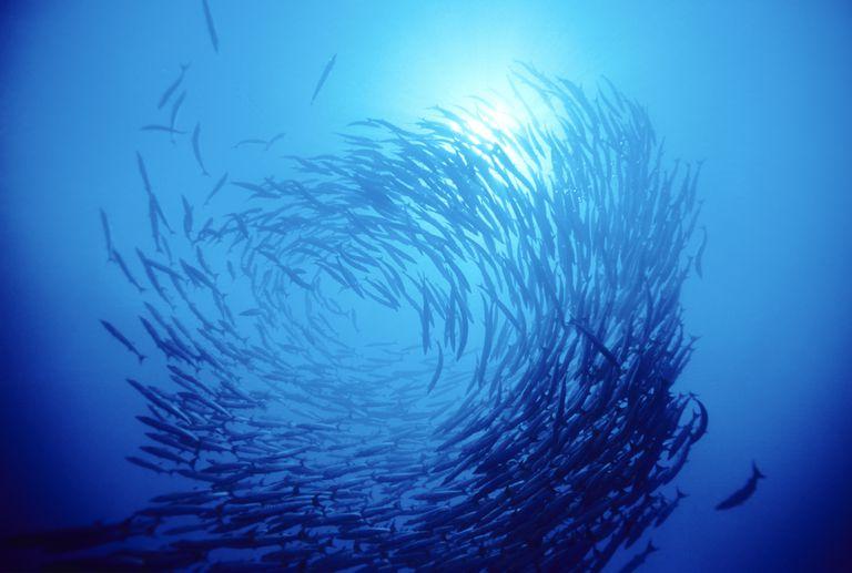 Swirl Of Fish