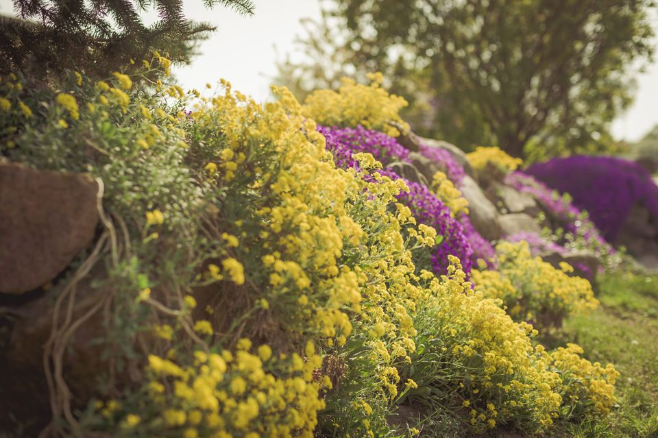yellow alyssum growing on garden wall
