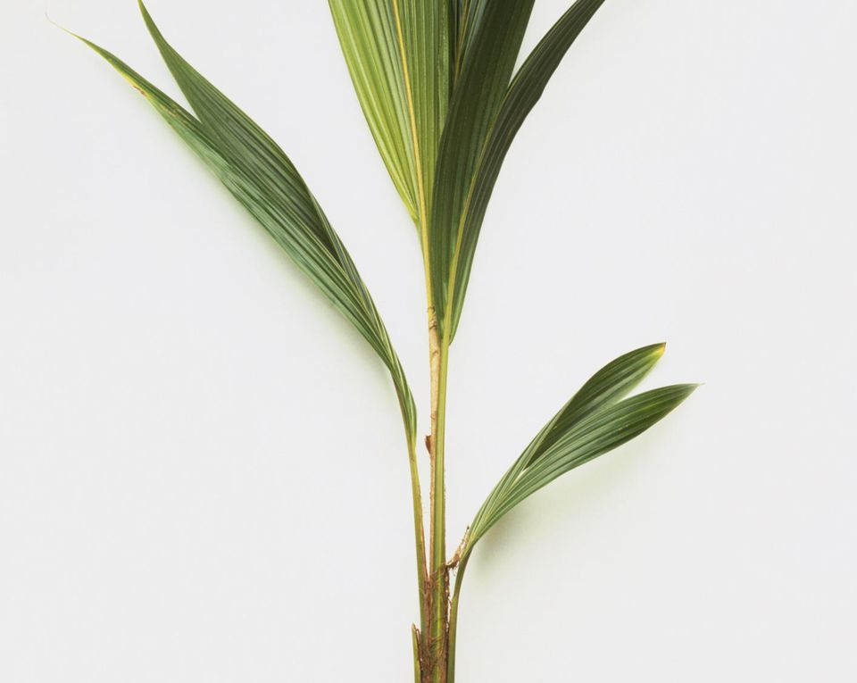 Cocos nucifera (Coconut Palm Tree), green leaves on long stems growing from coconut