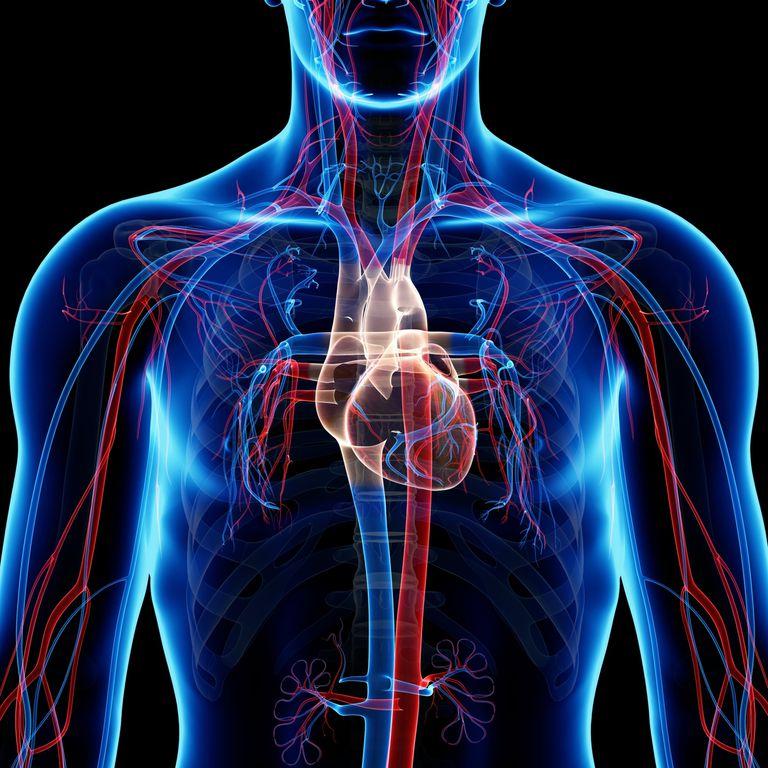 Vasos sanguíneos- sistema cardiovascular