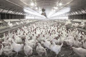Chickens In Hatchery