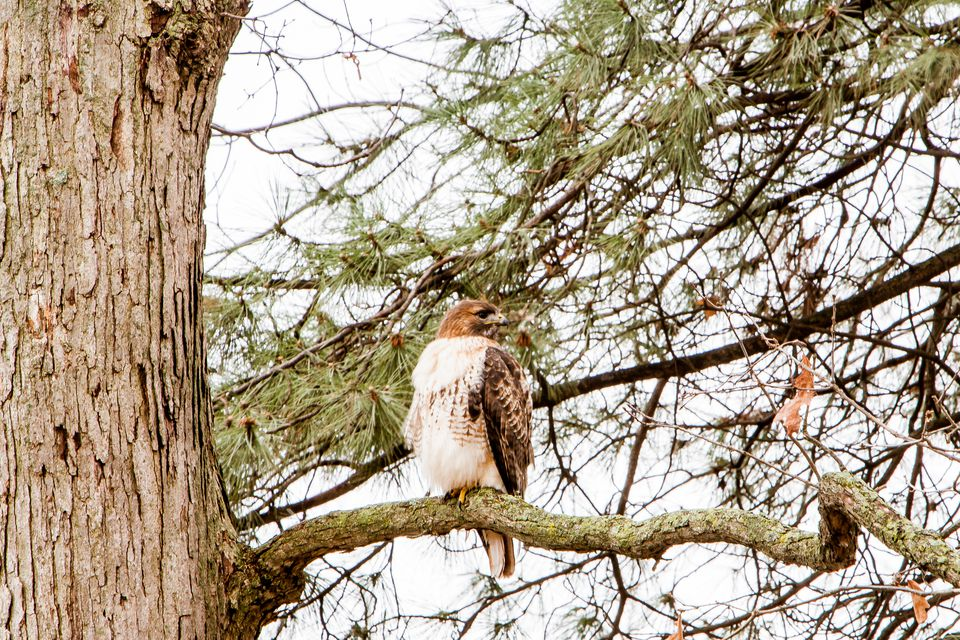 Red Tailed Hawk in Michigan