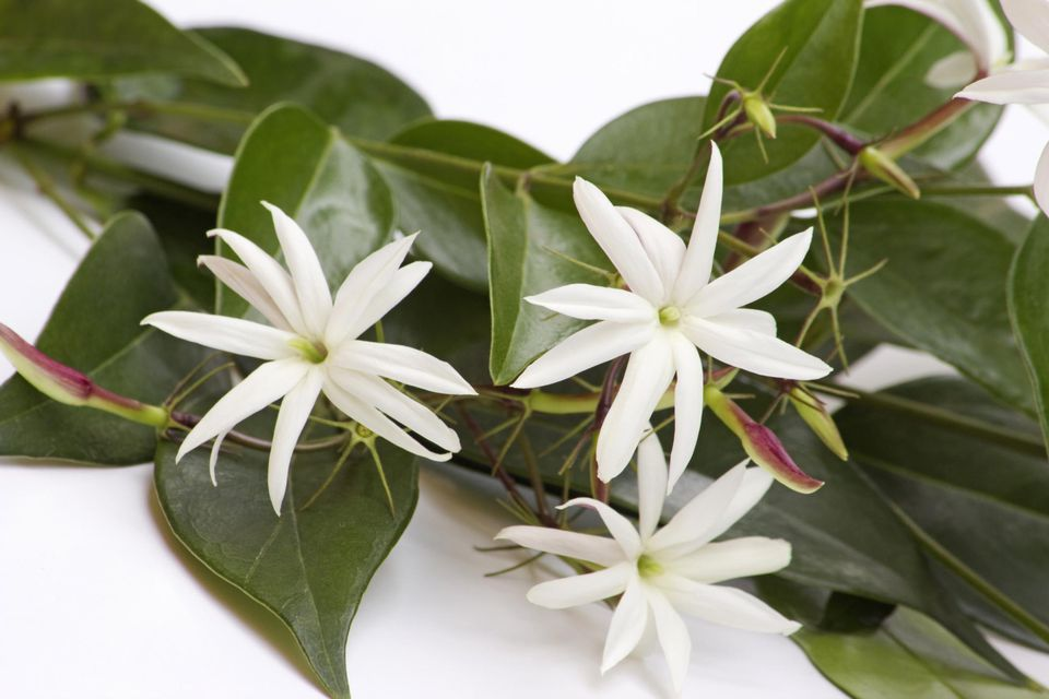 Jasmin flowers on a branch on white background