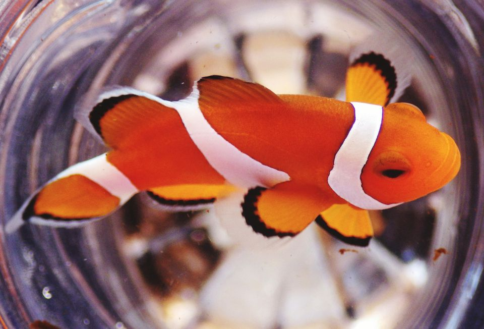Close-Up Of Clown Fish Swimming In Container