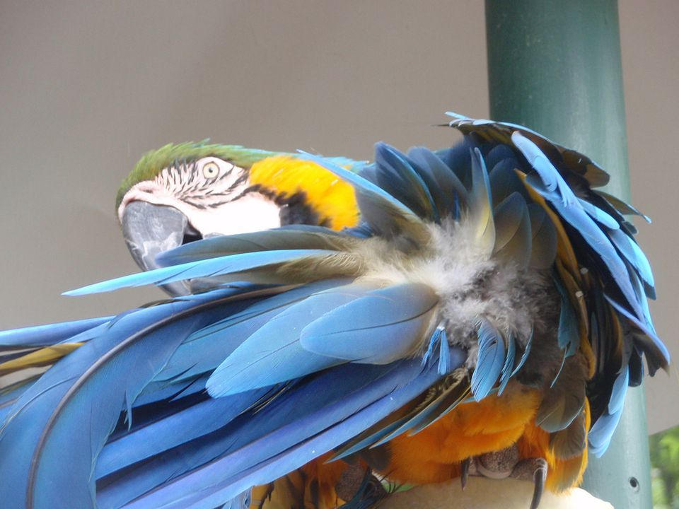 Parrot waving hello
