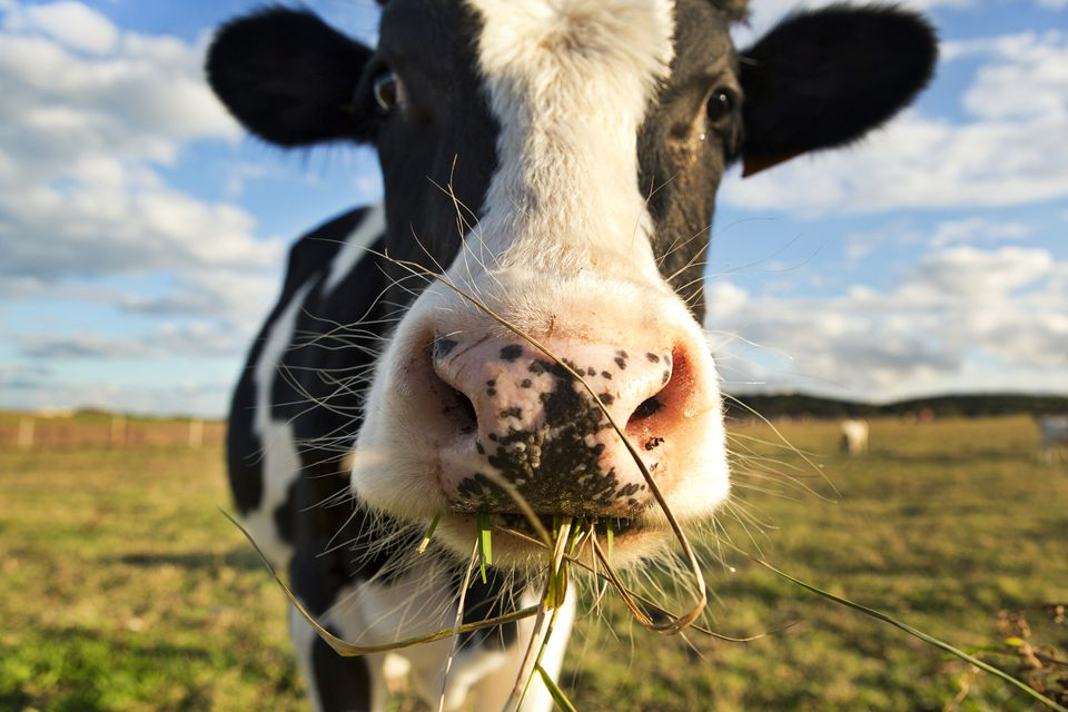 Close-up of a cow eating grass