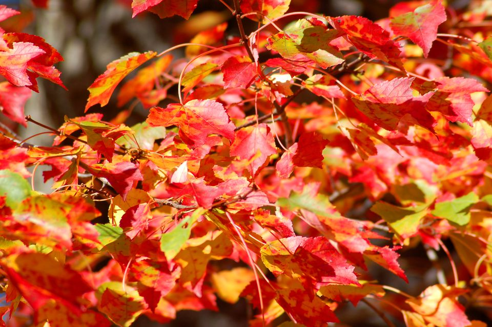 Red maples (image) can have fall leaves with 3 colors at once (red, yellow and green).