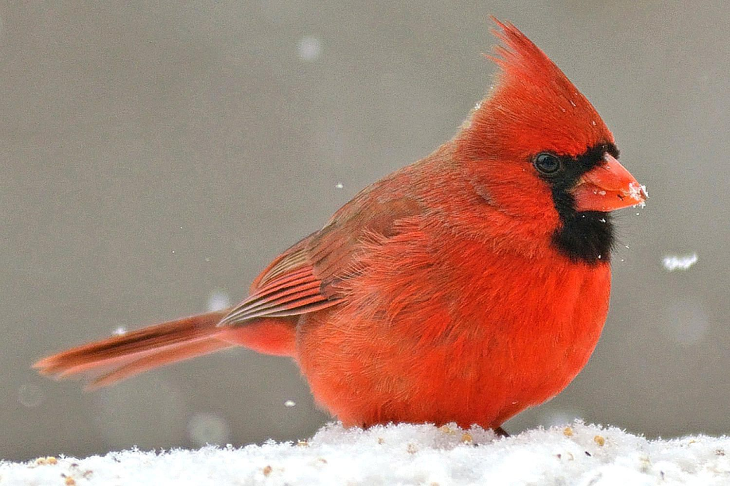 Fun facts and trivia about northern cardinals - Pictures of cardinals in snow ...