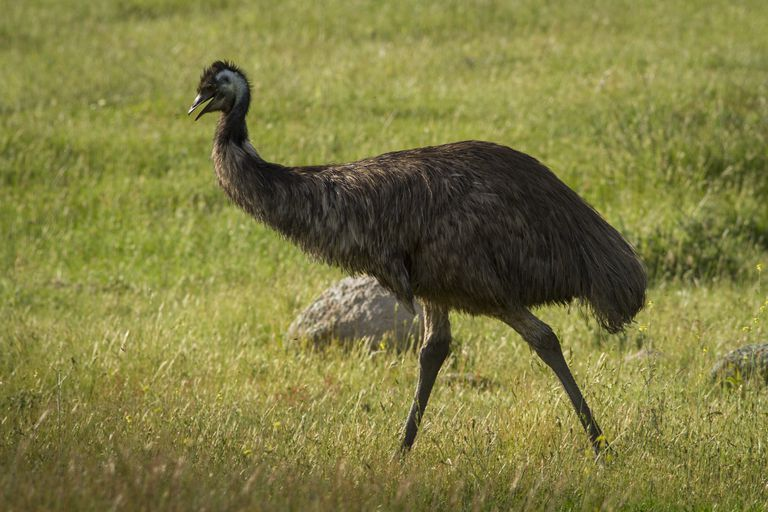 The source of emu oil.