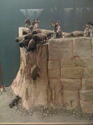 Buffalo Jump Diorama at the Museum of Natural History