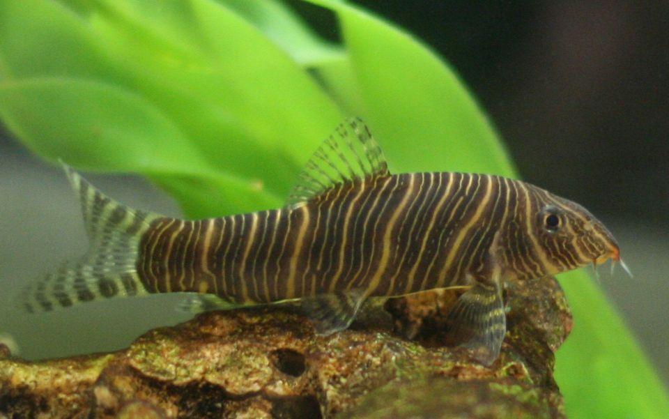 Zebra Loach fish