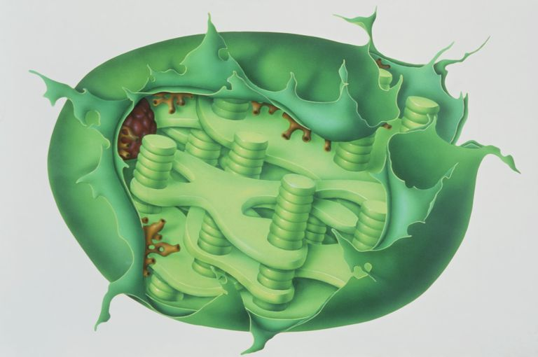 Cutaway illustration of plant chloroplast showing the sheet-like thylakoid or lamellae supporting the stacks of grana, which resemble coins.