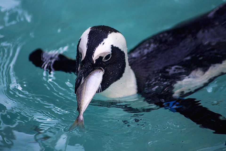 Penguin diet and eating habits for What does fish eat