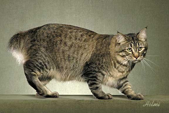 G And G Pixie Bob Pixie-Bob - Cat Breed ...