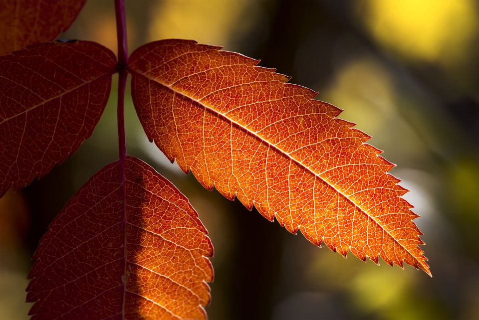 mountain ash leaves in autumn
