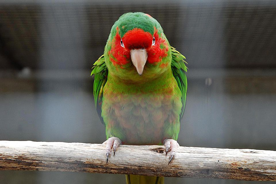 An adult Mitred Parakeet (Aratinga mitrata), also known as the Mitred Conure, in captivity in Madeira