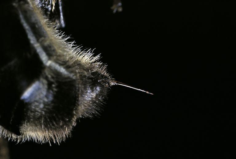 Honey Bee Stinger