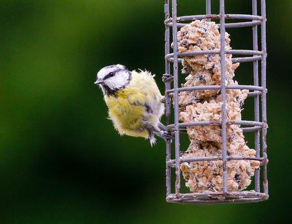 should feeder cole feeders feed birds bowl my with i how clean often bountiful image featured bird s wild