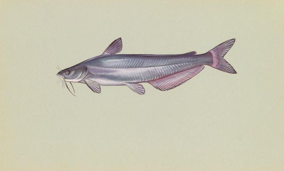 Fish species of lake norman blue catfish ictalurus furcatus sciox Gallery