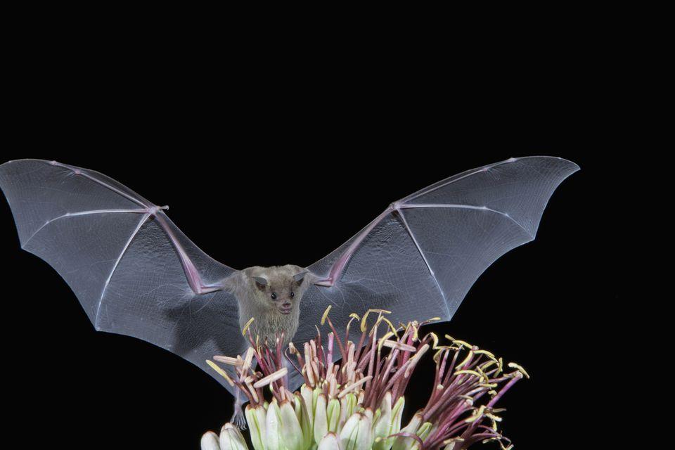 Leafnosed fruit bat flying over agave blossom, Tucson, Arizona, USA