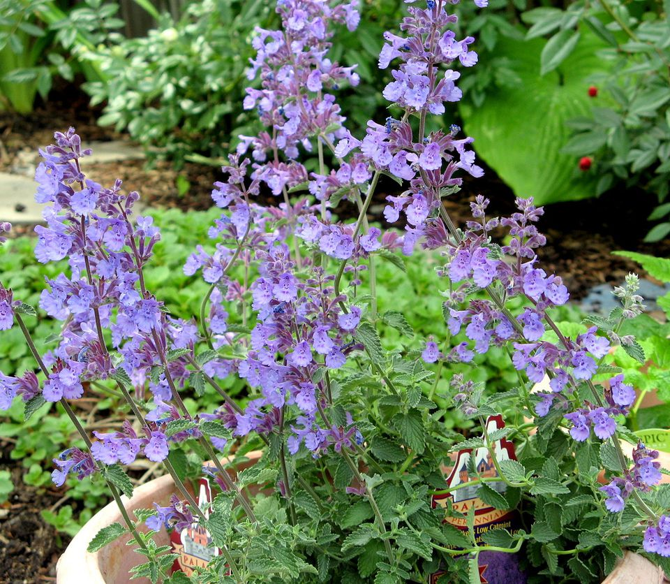 Catmint walker's low