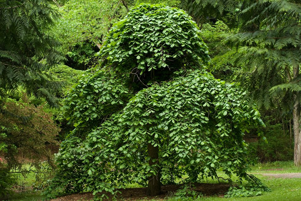 19 species of weeping trees for Weeping garden trees