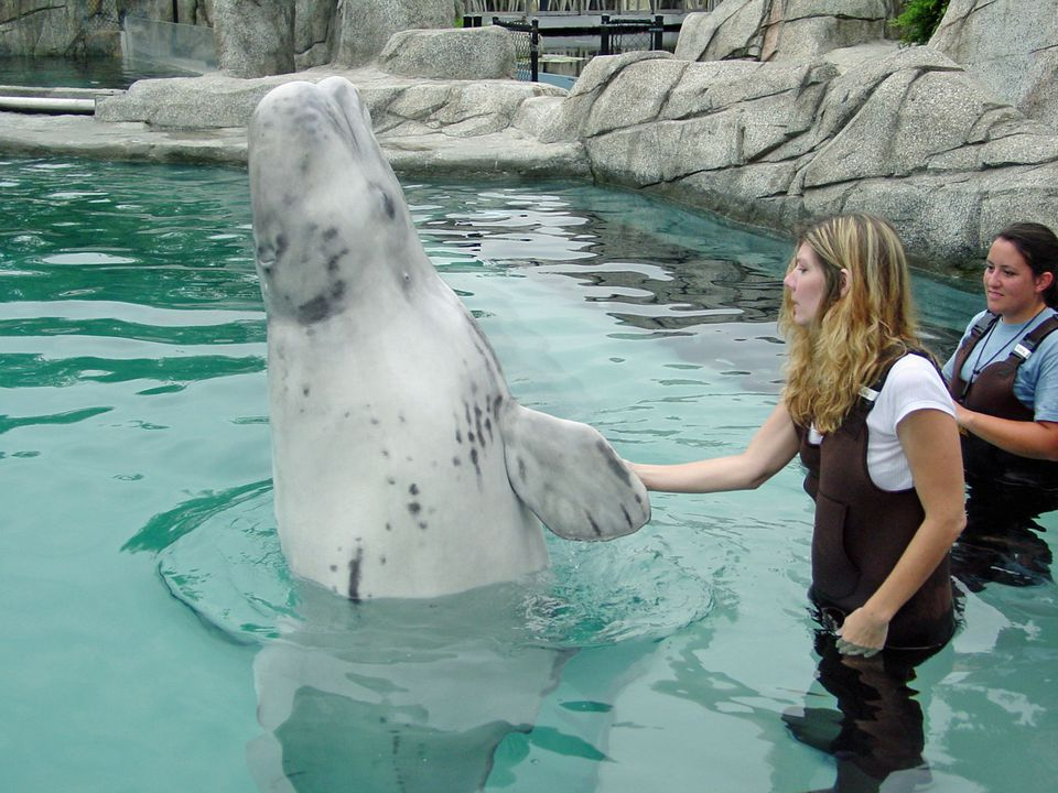Beluga Whale High Five