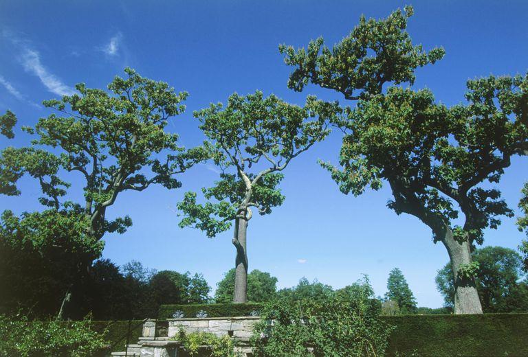Planting Growing and Marketing Royal Paulownia