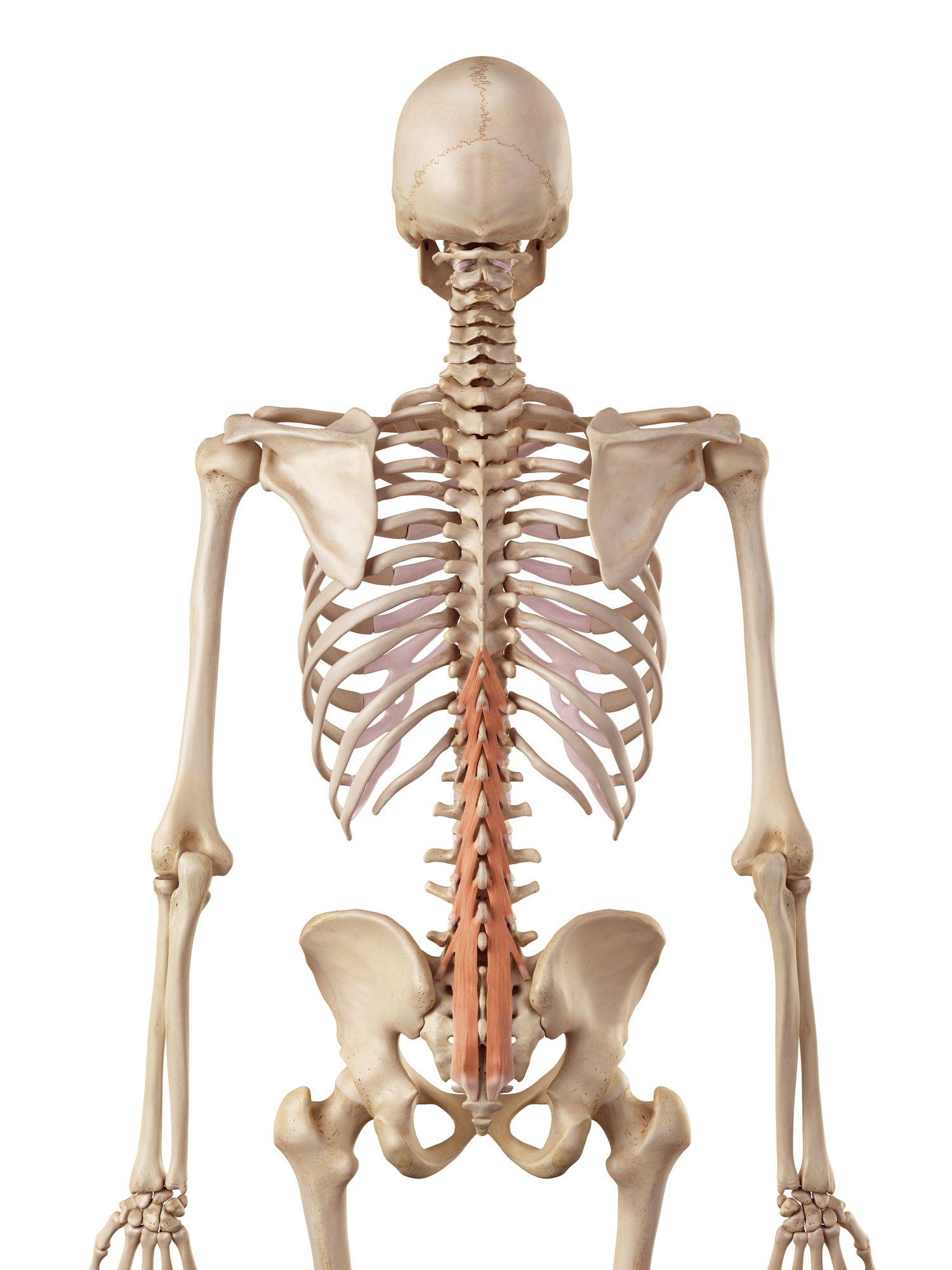 gallery anatomy of back muscle human anatomy diagram