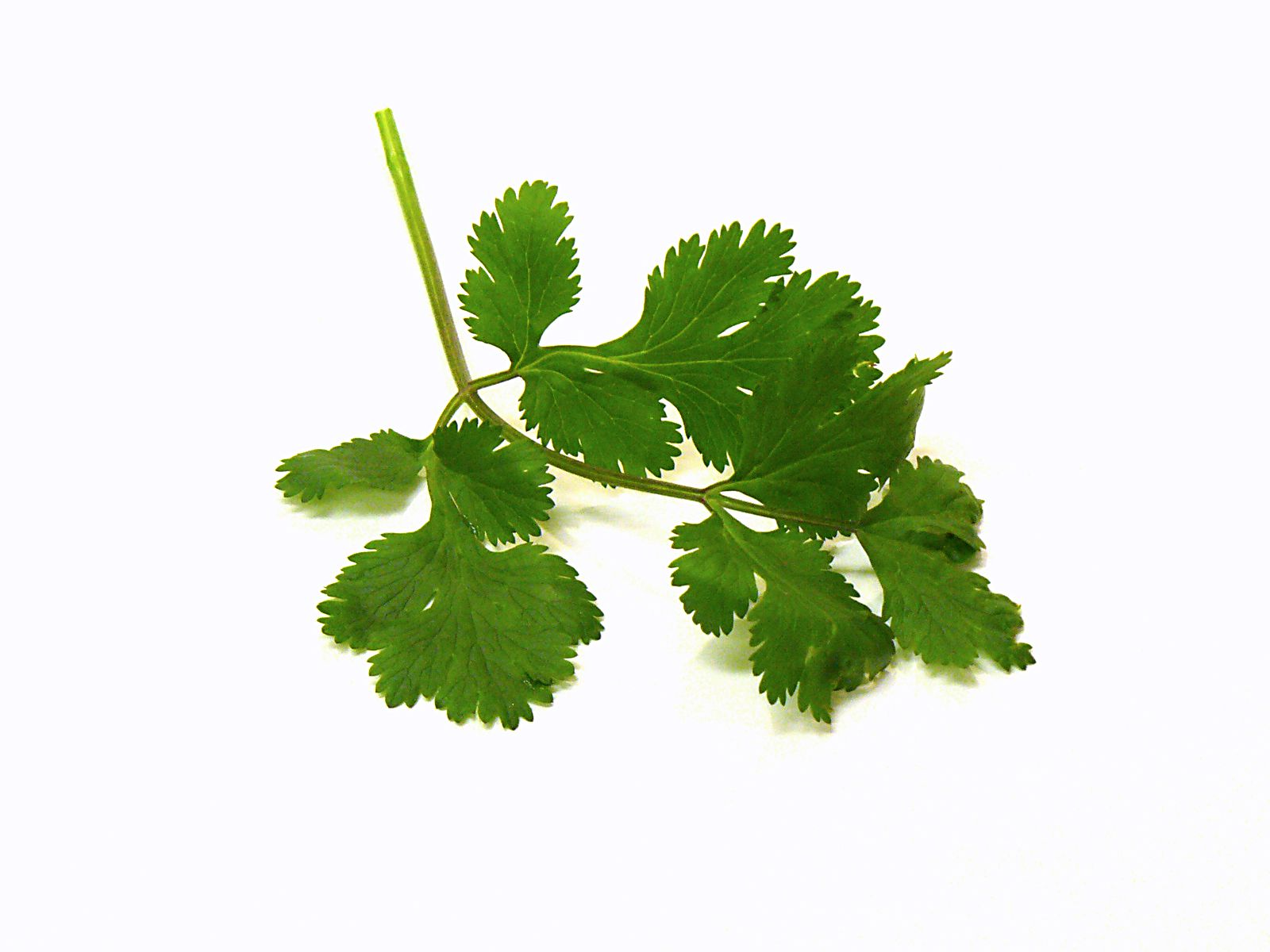 Inside Cilantro What Is Chinese Parsley