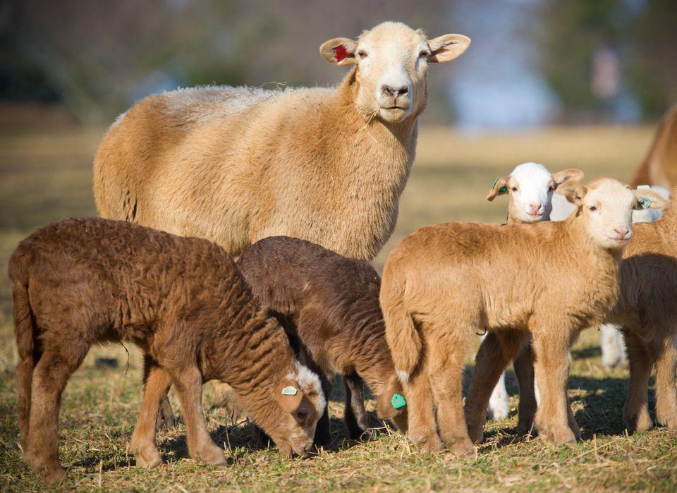 Katahdin hair sheep and lambs.
