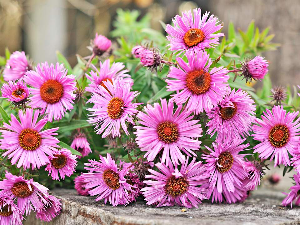 Top 15 fall blooming flowers for a perennial garden asters fall blooming flowers mightylinksfo