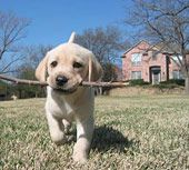 Puppy carrying stick / David Dyer
