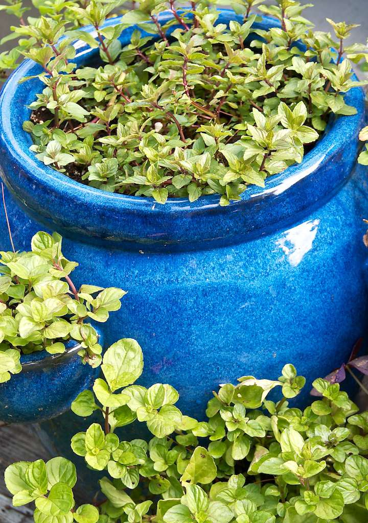 Learn how to grow mint in a container garden