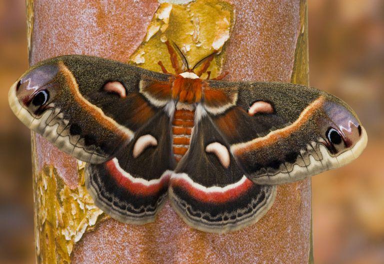 Cecropia moth.
