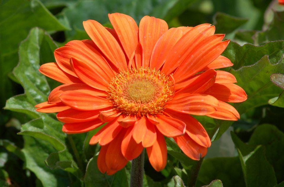 Orange gerbera daisy flower.